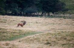 Stor mogen fullvuxen hankronhjort för röda hjortar Royaltyfria Foton