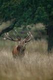 Stor mogen fullvuxen hankronhjort för röda hjortar Arkivbilder