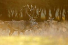 Stor mogen fullvuxen hankronhjort för röda hjortar Royaltyfri Foto