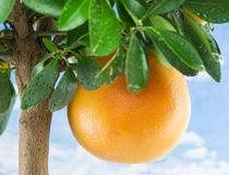 Stor mogen grapefrukt på trädet Royaltyfri Foto