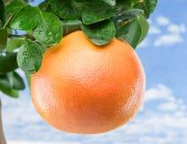 Stor mogen grapefrukt på trädet background card congratulation invitation Arkivbilder