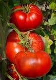 stor mogen tomat Royaltyfri Fotografi