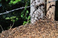 Stor myrstack med kolonin av myror Royaltyfri Foto
