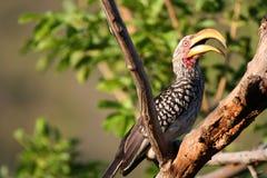 stor näbbfågel Arkivbilder