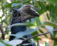 Stor näbbformig svart fågel arkivfoton
