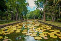 Stor näckrosbotanisk trädgård Pamplemousses, Mauritius royaltyfria foton