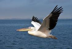 stor namibia pelikanwhite Arkivfoton