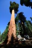 stor nationalparksequoiatree Royaltyfria Bilder
