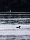 Stor nordlig lomfågel på vatten Royaltyfri Bild