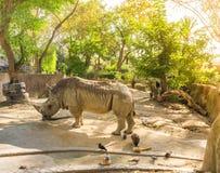 Stor noshörning Arkivbild