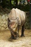 Stor noshörning Arkivfoton