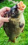 Stor ny flodfisk Arkivfoto