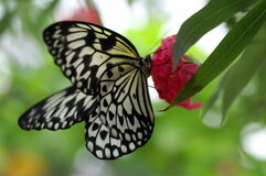stor nymphtree för fjäril royaltyfri foto