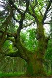 stor oak Arkivbilder