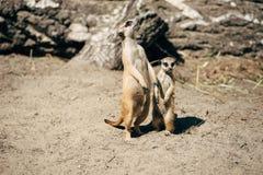 Stor och liten meerkat Fotografering för Bildbyråer