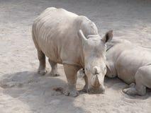 Stor och mycket stark noshörning som går i en zoo i Erfurt Arkivfoto