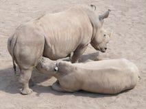 Stor och mycket stark noshörning som går i en zoo i Erfurt Royaltyfria Bilder