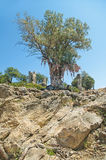 Stor olivträd med färgglade trasor Royaltyfria Bilder