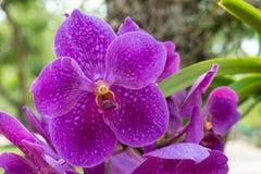 Stor orkidé Royaltyfria Bilder