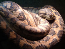 stor orm Fotografering för Bildbyråer