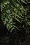 Stor ormbunke på den Levada madeiran Fotografering för Bildbyråer