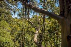 Stor Otway nationalpark Överkanten för det Otway flugaträdet går royaltyfri fotografi