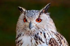 stor owl Royaltyfri Bild