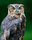 stor owl för ladugård Fotografering för Bildbyråer