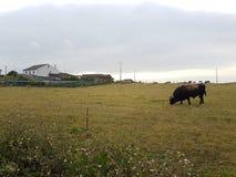 Stor oxe i landsfältet i Galicia Royaltyfria Bilder