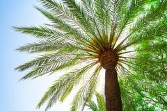 Stor palmträd Royaltyfri Foto