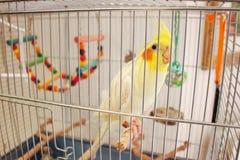 Stor papegoja Corella i en bur arkivbilder