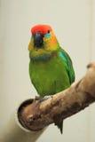 stor papegoja för fig Fotografering för Bildbyråer