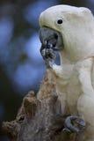 stor papegojawhite Royaltyfri Bild