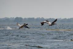 Stor pelecanusonocrotalus för vita pelikan som flyger över Danen royaltyfri foto