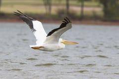 Stor pelikan över sjön Hefner i Oklahoma Arkivbilder