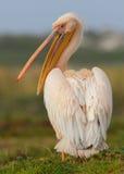 stor pelikan Royaltyfri Foto