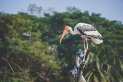 stor pelikan Arkivbild