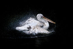 Stor pelikan i havet Arkivfoton