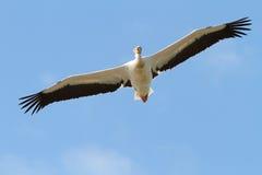 Stor pelikan med öppna vingar Royaltyfria Bilder