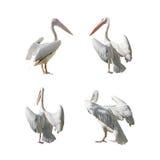 Stor pelikan med öppna vingar som isoleras på vit Arkivbilder