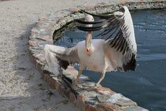 Stor pelikan som vinkar dess vingar som, om utföra en innegrej mo Arkivbilder