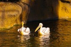 Stor pelikan två i floden Arkivbilder