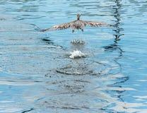 Stor pelikanfågel som flyger över vatten Arkivbilder