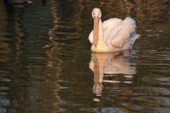 stor pelikansimningwhite Arkivbild
