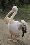 stor pelikanwhite Arkivfoto