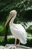 stor pelikanwhite Royaltyfria Bilder