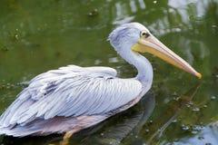 stor pelikanwhite Arkivbilder