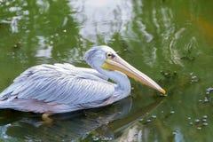 stor pelikanwhite Arkivfoton