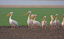 stor pelikanwhite för flock Arkivbild