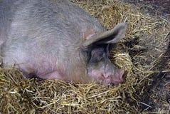stor pig Royaltyfri Fotografi